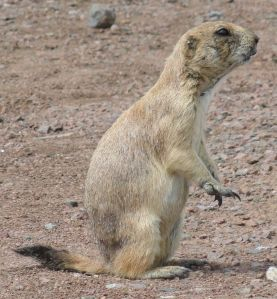 Black-tailed_Prairie_Dog-Wichita_Mountain_Wildlife_Refuge-1