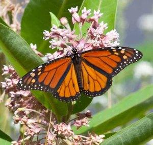 Monarch-ASSY-1301